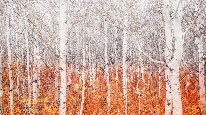 Alberi nudi della tremula con il fogliame caduto di autunno che indica che l'inverno sta venendo immagine stock libera da diritti