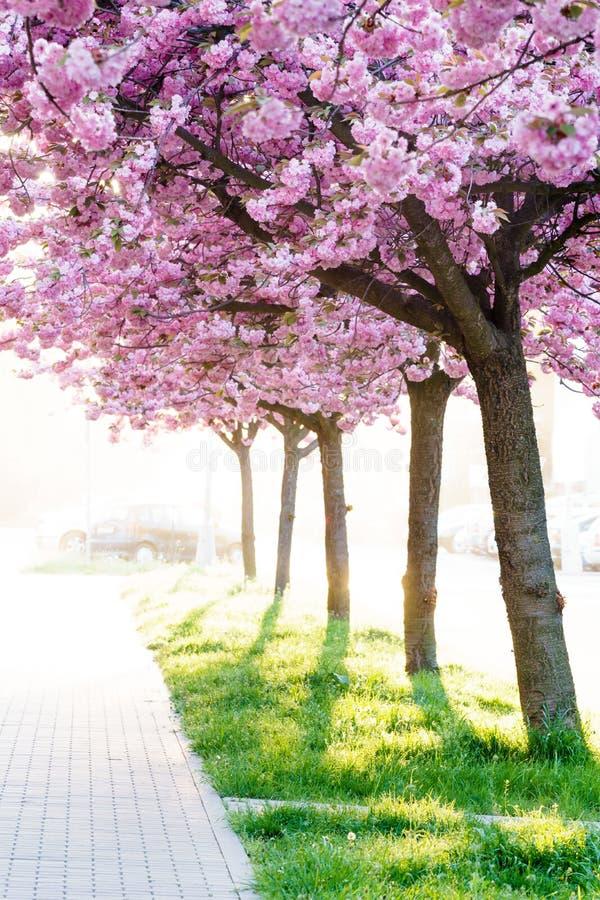 Alberi ornamentali di fioritura rosa di bellezza fotografia stock libera da diritti
