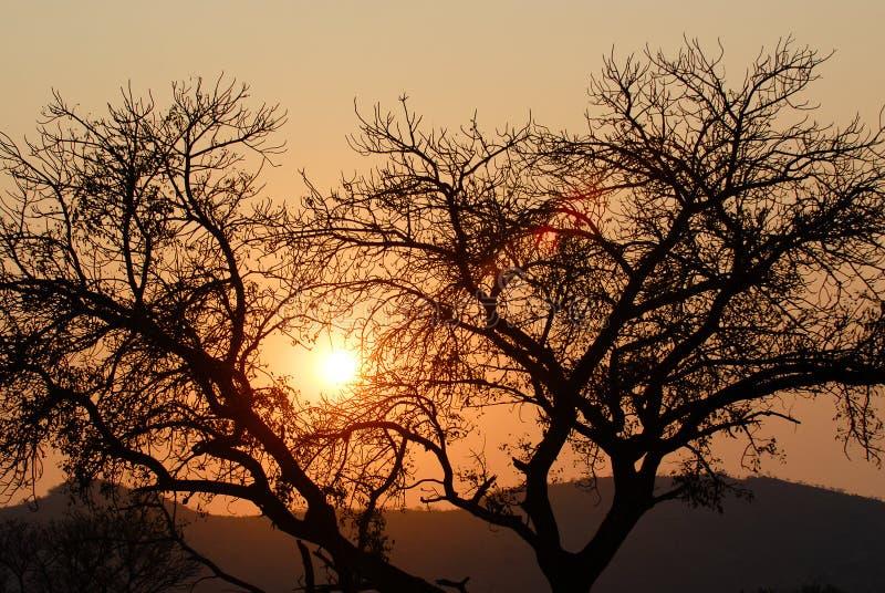 Alberi proiettati al tramonto immagini stock