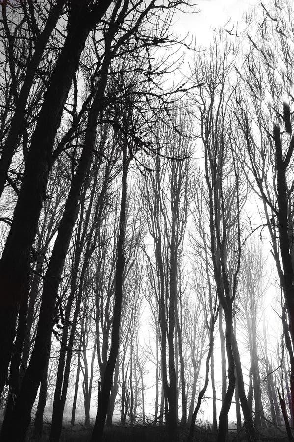 Alberi rigidi di inverno fotografia stock