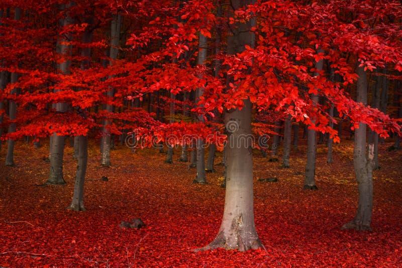 Alberi rossi nella foresta fotografie stock libere da diritti