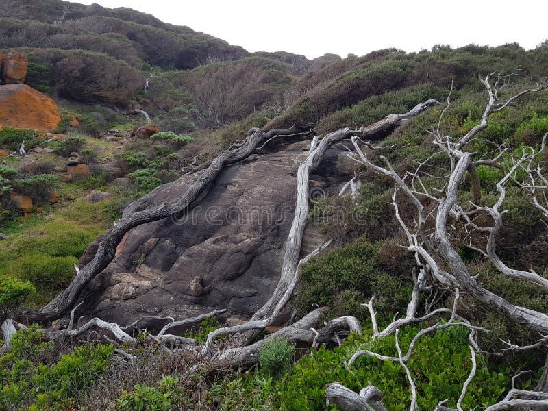 Alberi saltati del vento che crescono sopra le rocce fotografia stock