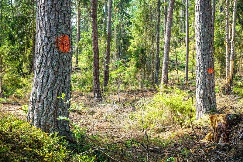 Alberi segnati per disboscamento/la raccolta della foresta fotografie stock