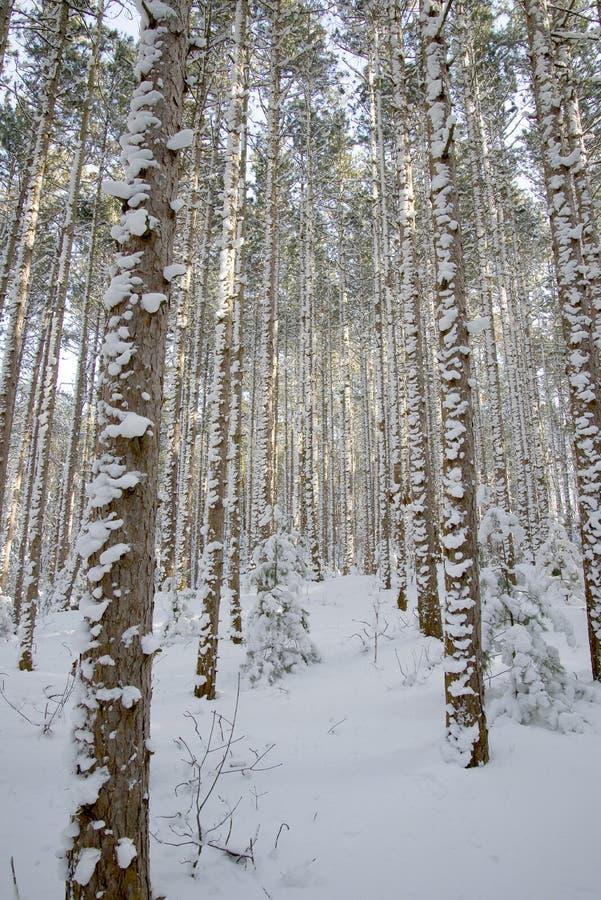 Alberi sempreverdi con neve sulla corteccia fotografia for Alberi sempreverdi
