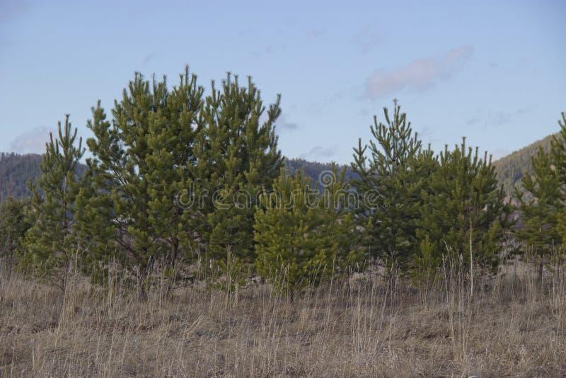 Alberi sempreverdi sulla Banca collinosa fotografie stock libere da diritti