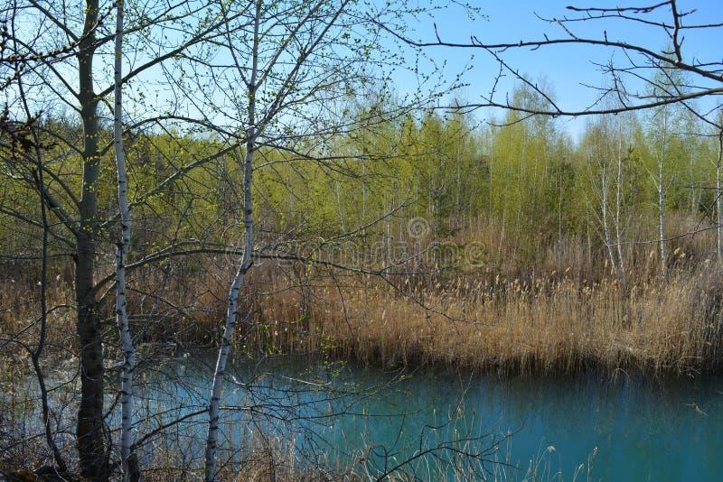 Alberi sulla Banca del lago Scena della sorgente Acqua blu, canne gialle asciutte e fogliame verde chiaro fotografia stock libera da diritti