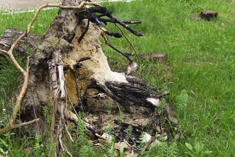 Alberi tagliati nel ceppo dell'albero forestale con la radice fotografia stock