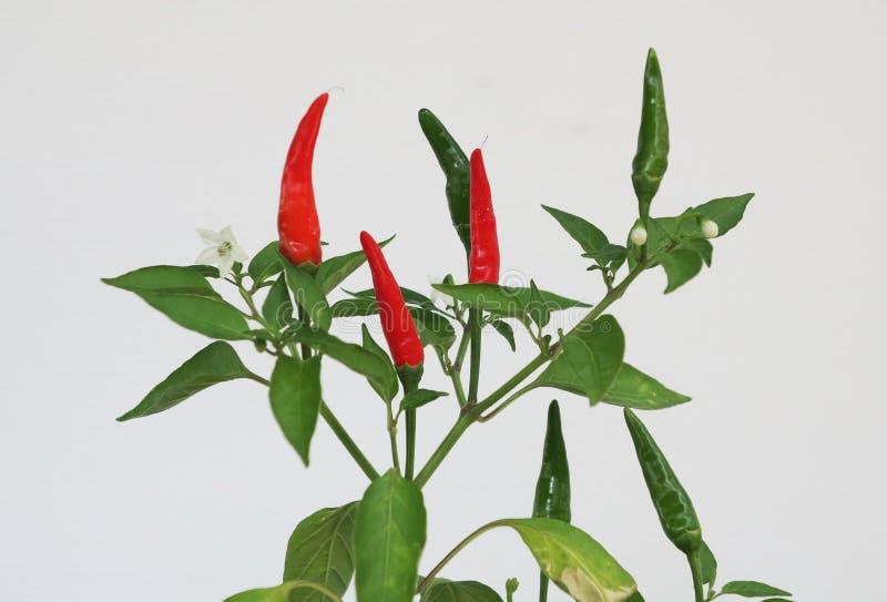 Alberi tailandesi del peperoncino rosso con i peperoncini rossi rossi e verdi sull'albero fotografia stock