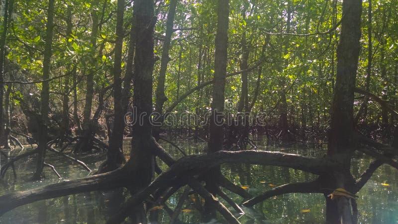 Alberi tropicali della mangrovia in Malesia fotografia stock libera da diritti
