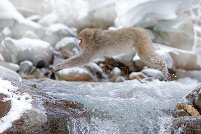 Albern Sie japanischen Makaken, Macaca fuscata herum und über Winterfluß springen, Schneestein im Hintergrund, Hokkaido, Japan stockfotos