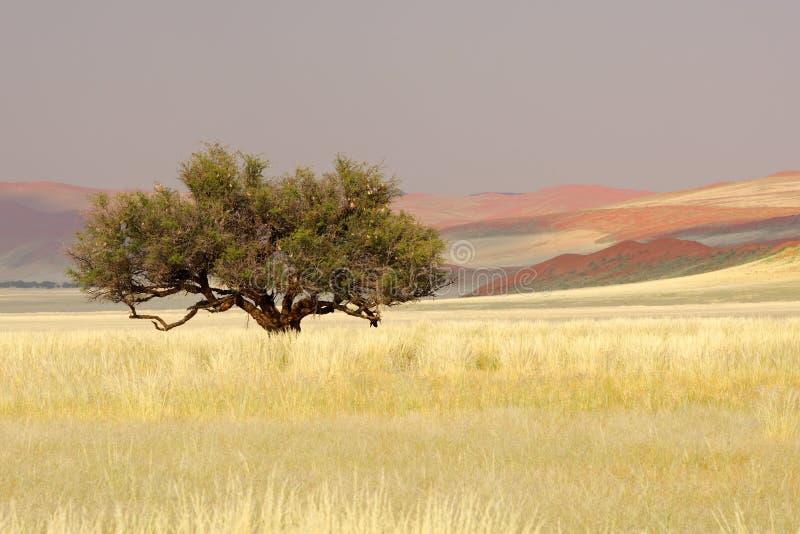 Albero africano dell'acacia, Sossusvlei, Namibia fotografia stock libera da diritti