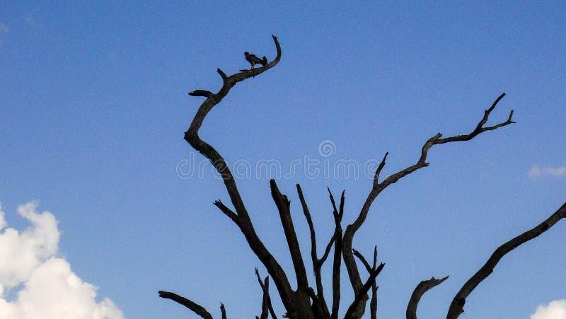 Albero africano di estate con l'uccello fotografie stock libere da diritti