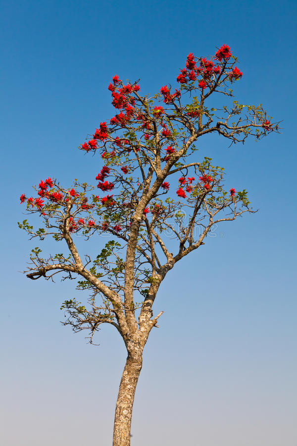 Albero africano in il tempo di primavera con i fiori rossi for Albero con fiori blu