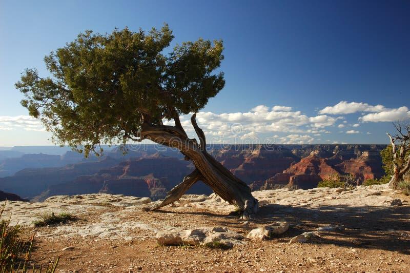 Albero al grande canyon fotografia stock