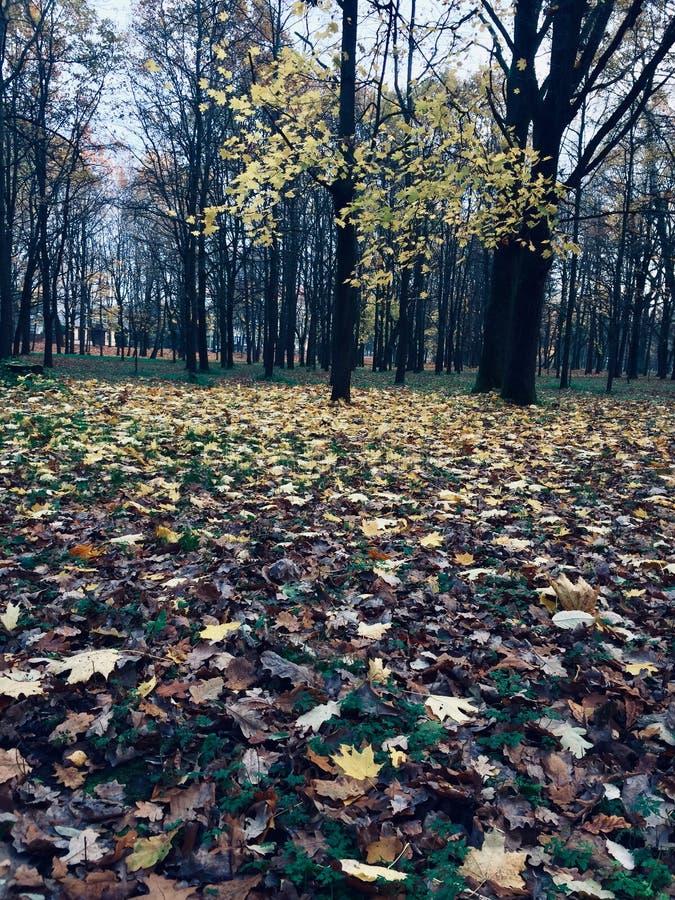 Albero all'autunno Albero con le foglie dorate fotografie stock