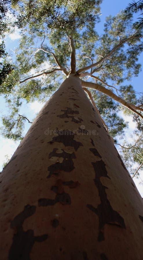 Albero alto in Australia occidentale immagini stock libere da diritti