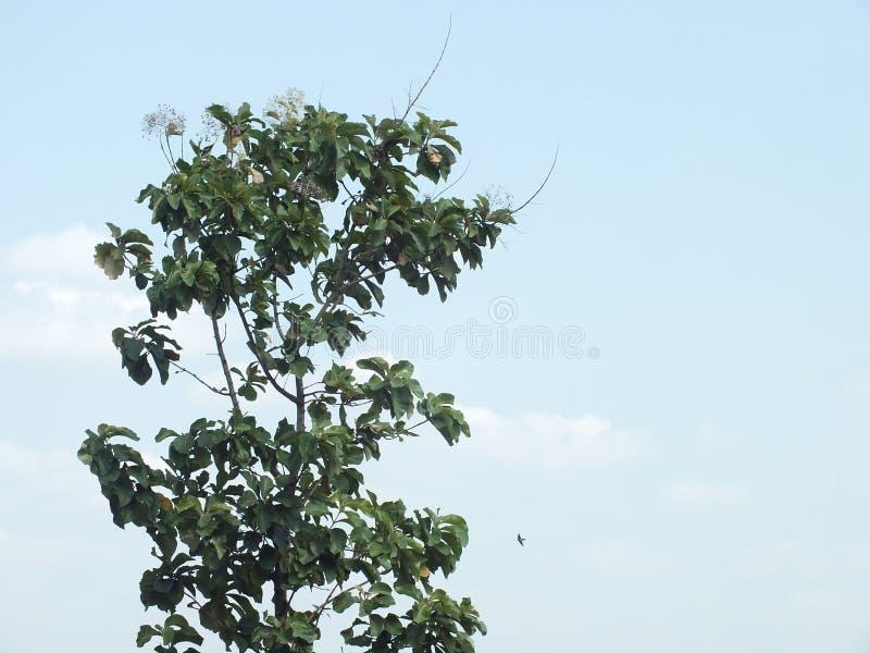 Albero alto, Java centrale Indonesia fotografia stock libera da diritti