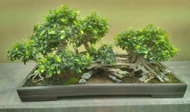 Albero antico dei bonsai fotografie stock libere da diritti