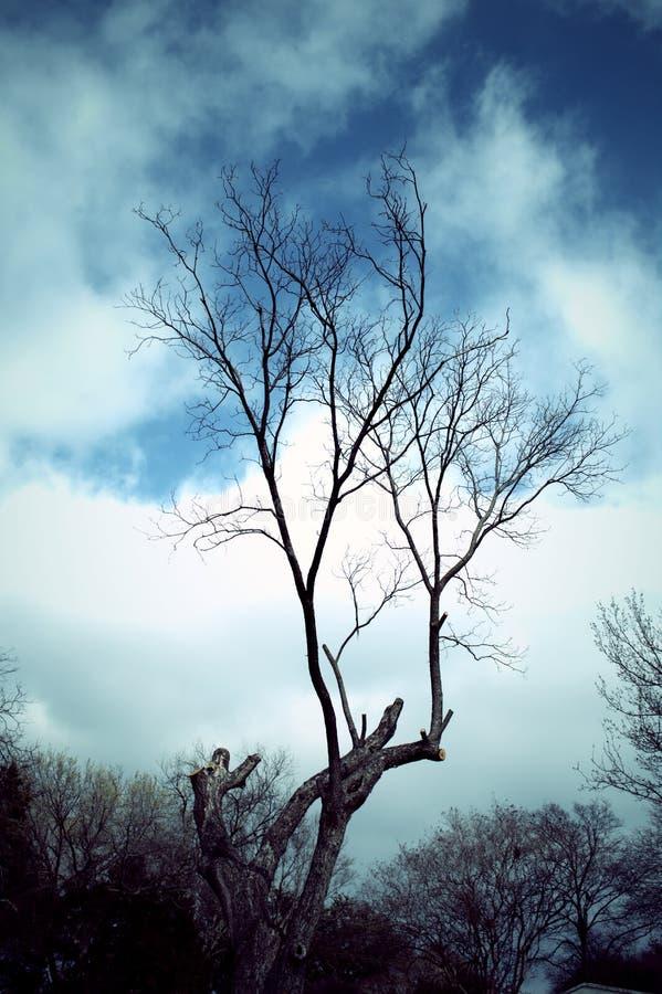 Albero appassito con il fondo oscuro del cielo blu fotografia stock libera da diritti