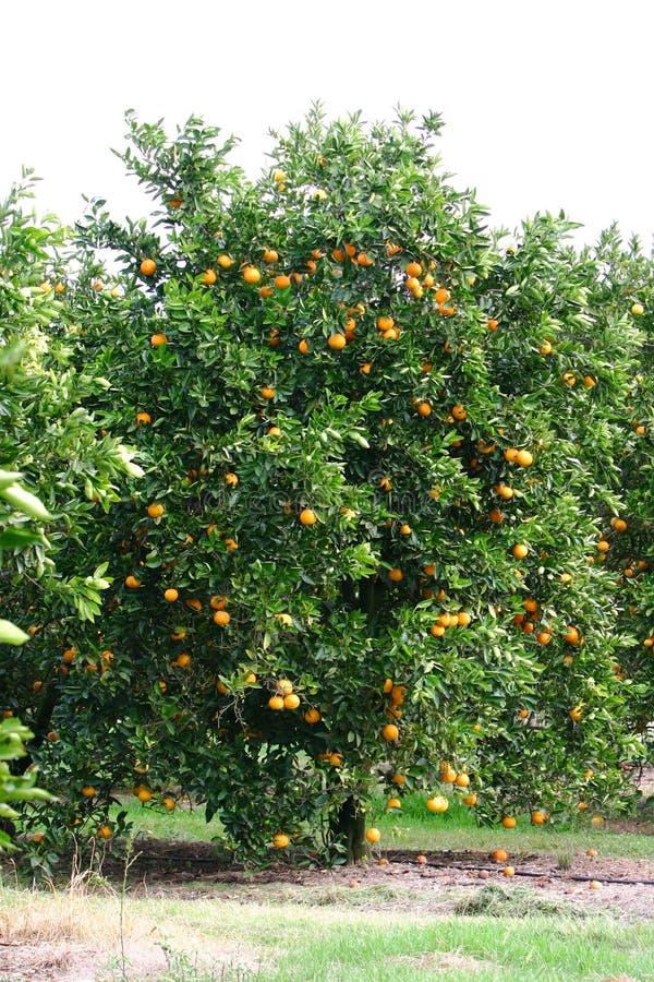 Albero arancione immagini stock libere da diritti