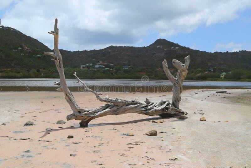 Albero asciutto allo stagno a salino grande, St Barts, Antille francesi del sale fotografia stock libera da diritti