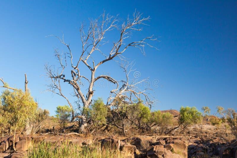 Albero asciutto. Gamme del Flinders. Australia Meridionale immagine stock