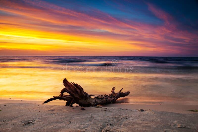 Albero asciutto sulla spiaggia al tramonto sopra il mare immagine stock libera da diritti