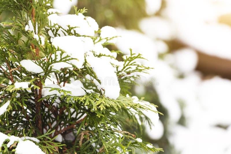 albero attillato sempreverde di natale con neve fresca su bianco fotografia stock