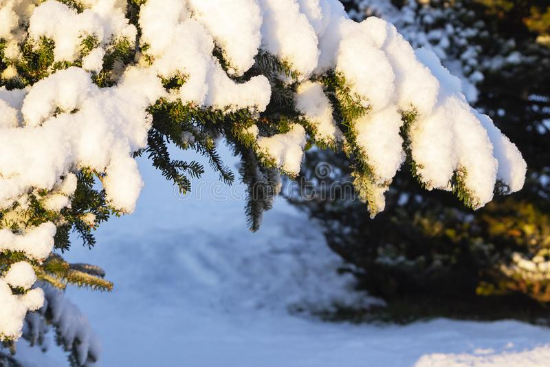 albero attillato sempreverde di natale con neve fresca su bianco fotografia stock libera da diritti