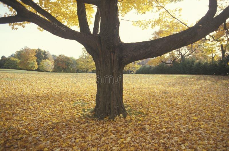 Albero in Autumn Surrounded dalle foglie, New Jersey fotografia stock