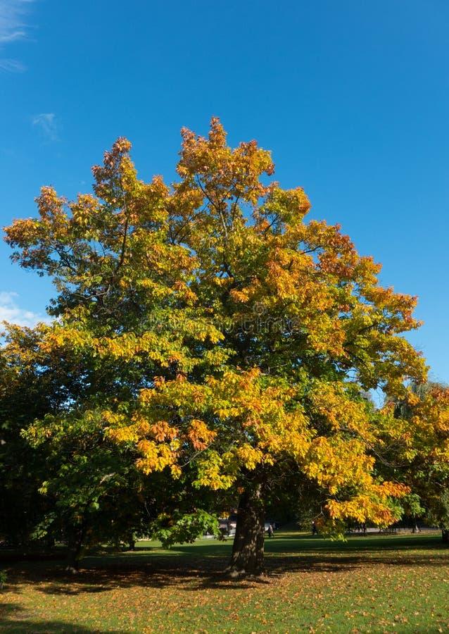 Albero in autunno fotografie stock libere da diritti