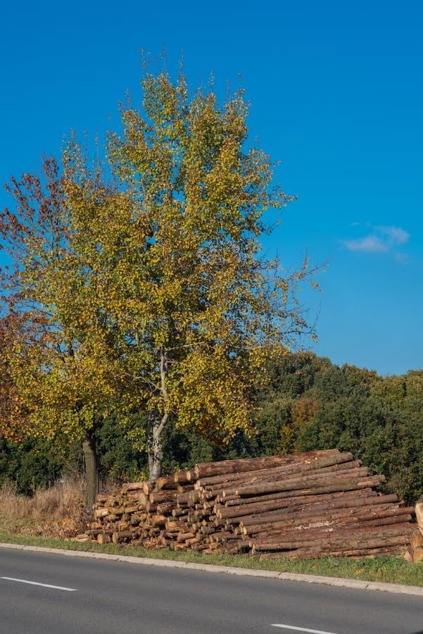 Albero in autunno con i tronchi di albero abbattuti contro un cielo blu fotografie stock