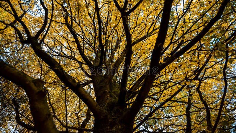 Albero in autunno con le foglie gialle, Amsterdam Olanda fotografie stock