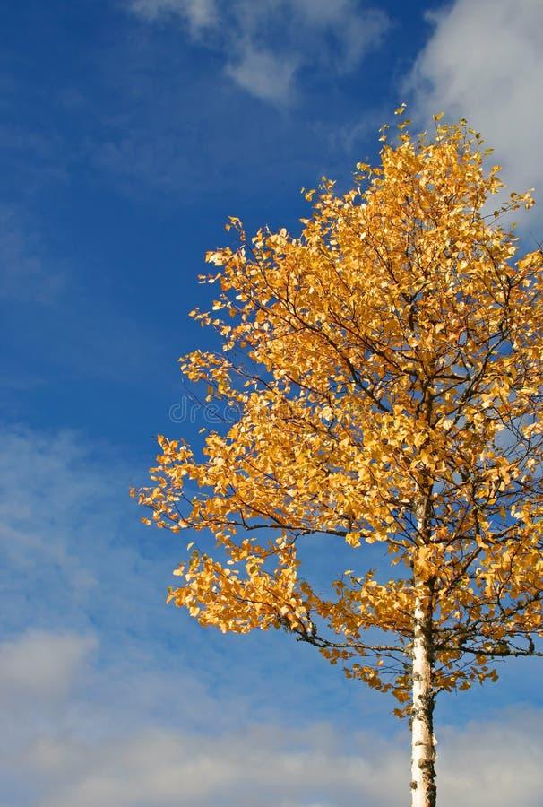 Albero in autunno di caduta fotografia stock libera da diritti