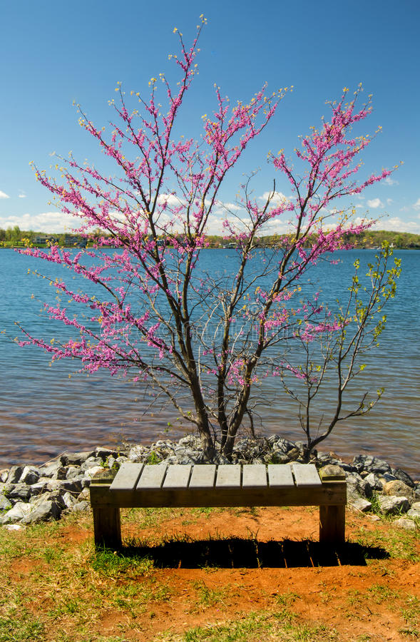 Albero, banco e lago di Redbud immagini stock