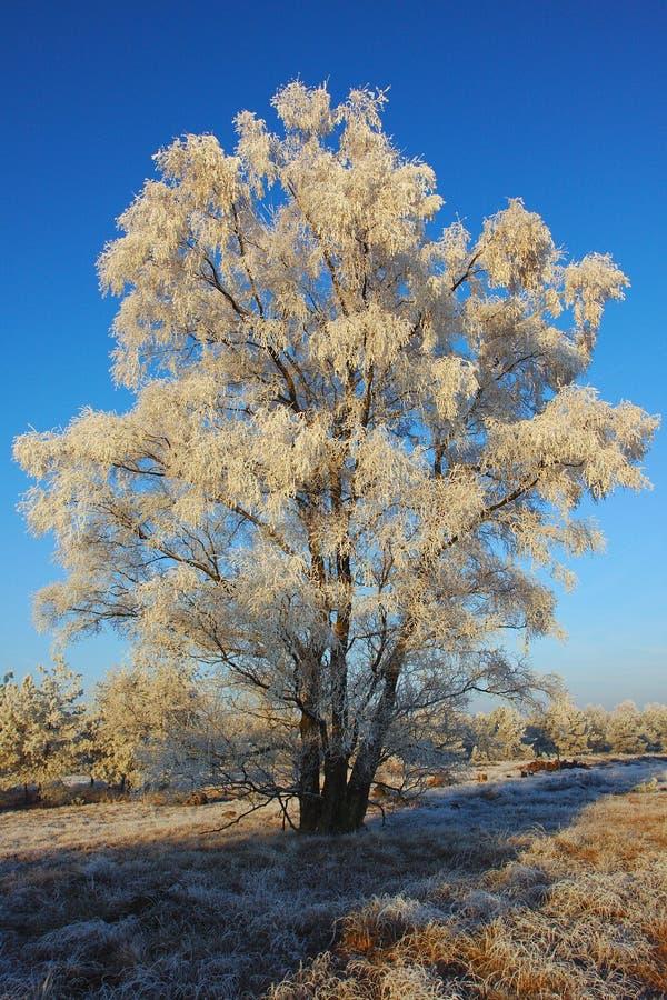 Albero bianco congelato di mattina fotografia stock