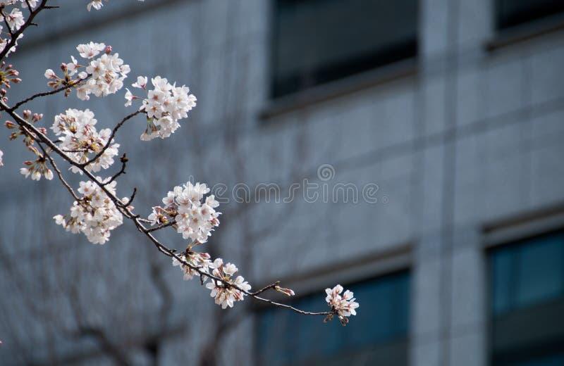 Albero bianco di sakura del fiore di ciliegia con il fondo dell'ufficio della sfuocatura fotografia stock