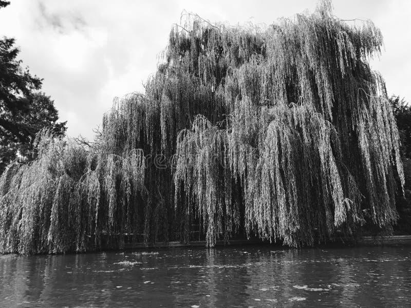 Albero in bianco e nero nel fiume immagini stock libere da diritti