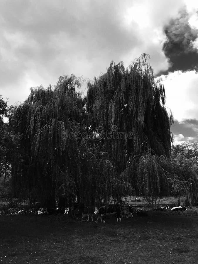 Albero in bianco e nero nella foresta fotografia stock libera da diritti