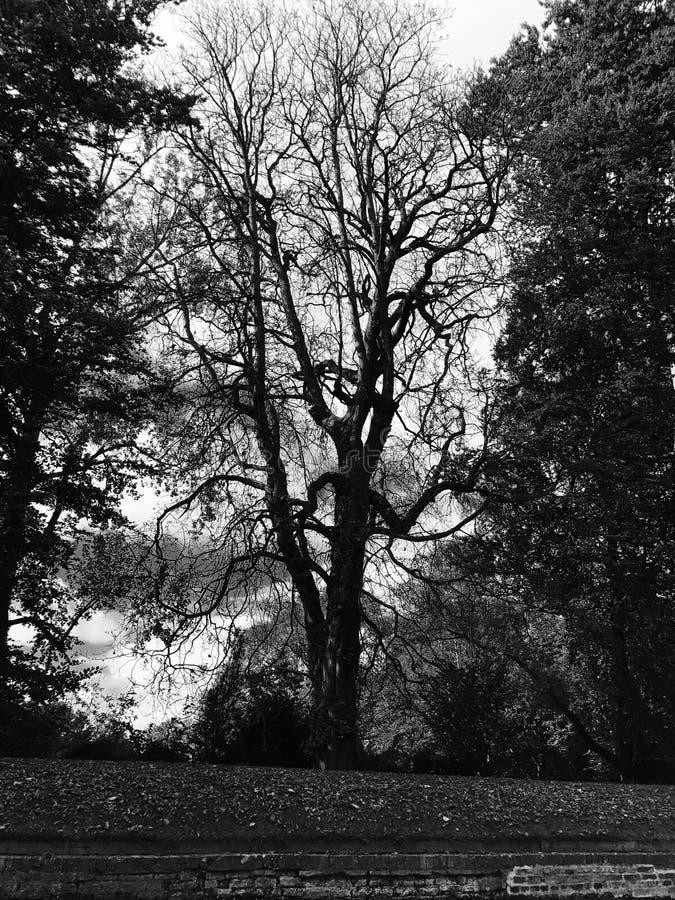 Albero in bianco e nero nella foresta immagine stock