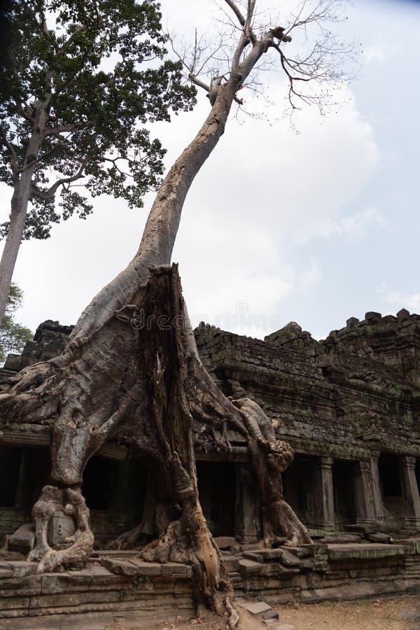 Albero bianco gigante che cresce sulle rovine di pietra del tempio schiantato in Cambogia immagini stock libere da diritti