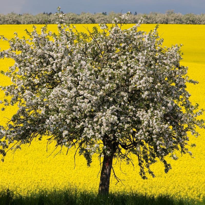 Albero Blossomy e campo giallo fotografia stock libera da diritti