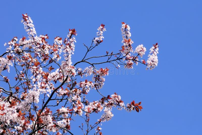 albero blu di fioritura del cielo della radura della ciliegia immagine stock