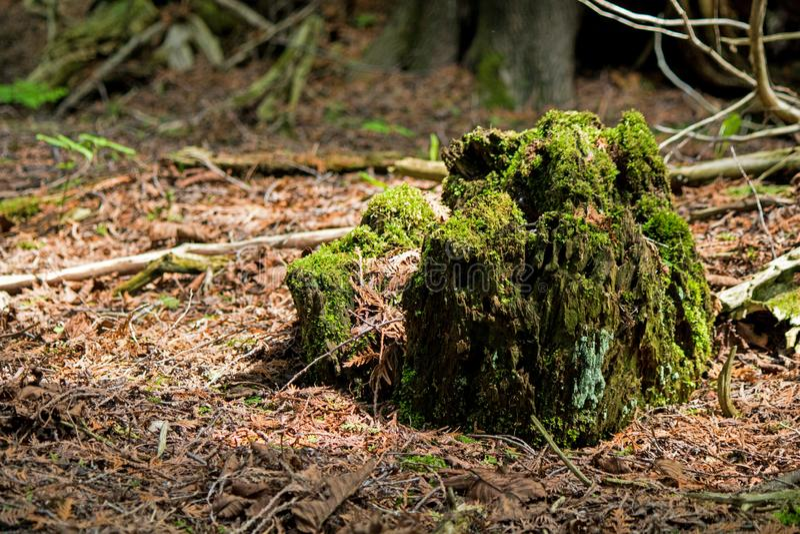 Albero caduto lungo di Moss Covered Trunk Of A immagine stock