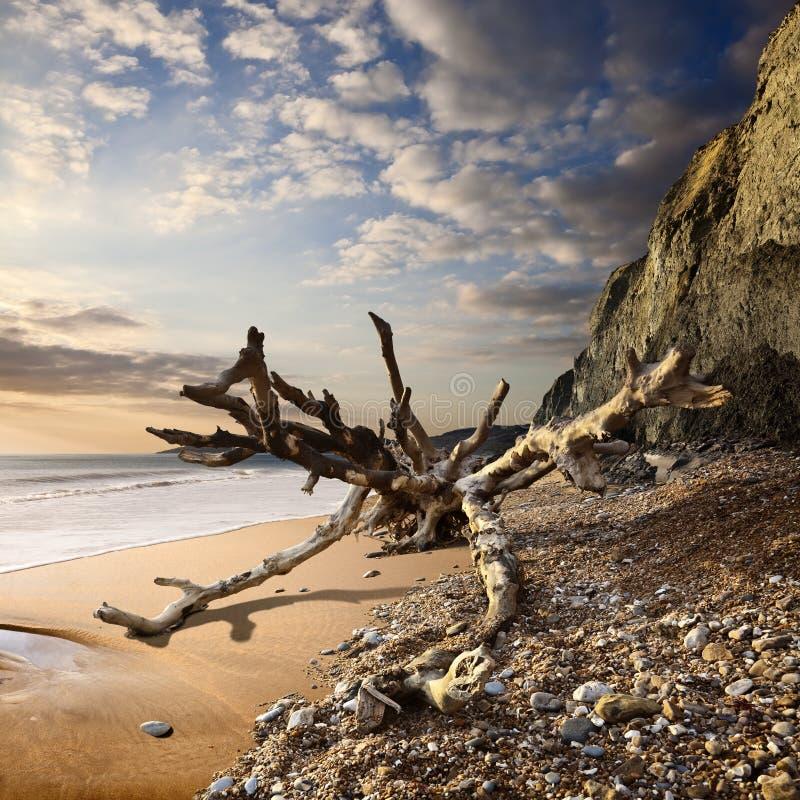 Albero caduto sulla costa giurassica di Dorset al tramonto fotografia stock