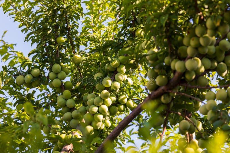 Albero caricato con i moniquis verdi delle albicocche, coques immagini stock