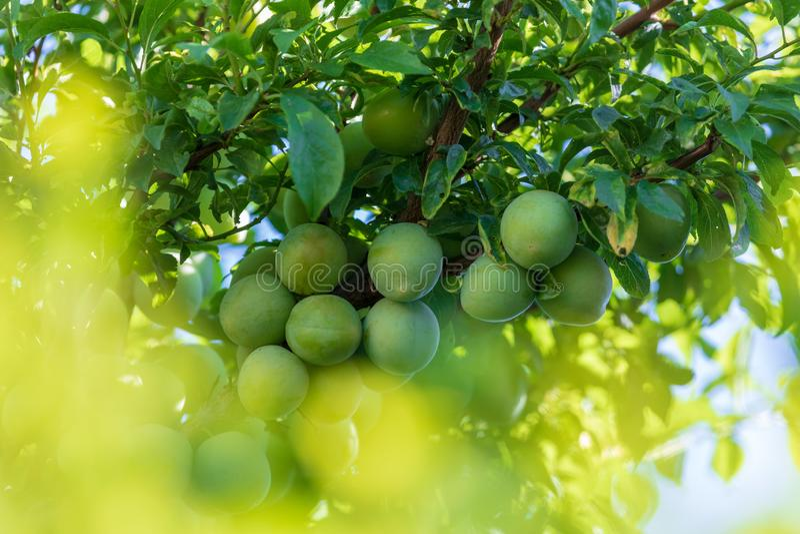 Albero caricato con i moniquis verdi delle albicocche, coques fotografia stock libera da diritti