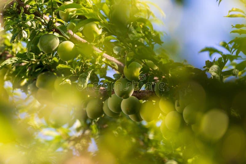 Albero caricato con i moniquis verdi delle albicocche, coques immagine stock