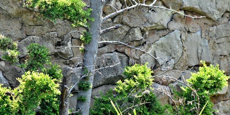 Albero, cedro accanto ad un muro di sostegno della roccia nel lago Hefner fotografie stock