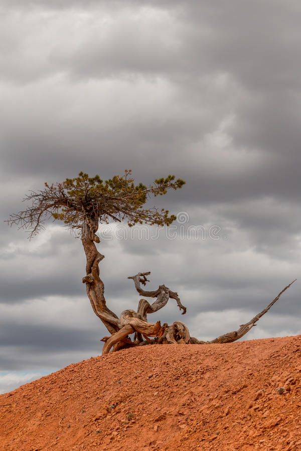 Albero che affronta le nuvole tempestose in canyon di Bryce fotografia stock libera da diritti
